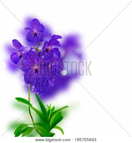 Bunch of fresh blue orchid flowers with green leaves over white background