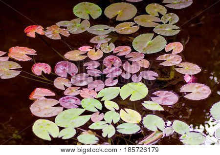 Leaves of lilies of different colors in the pond