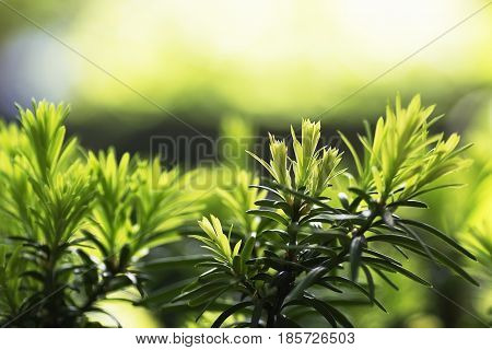 natural background yew-tree new young needles with selective focus for all types of Yew characterised by flat and short needles, located on the shoots most often in two rows in a comb