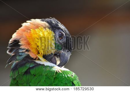 Green black yellow and pink parrot cleaning feathers close up view