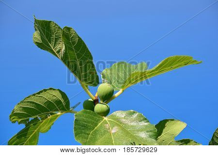 Green almost ripe figs on a branch with big leaves against clear blue sky
