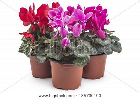 Spring cyclamen flowers, Cyclamen persicum in a flowerpot isolated on white background