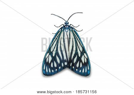 Drury's Jewel (cyclosia Papilionaris) Moth