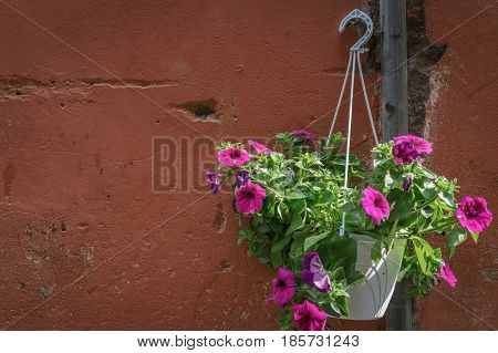 Pink Petunia cultivars flower pot hanging on vingate red brown wall in bright daylight.