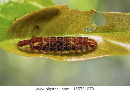 Common Oakblue (arhopala Pseudocentaurus) Caterpillar