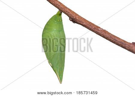 Common Duffer (discophora Sondaica) Pupa
