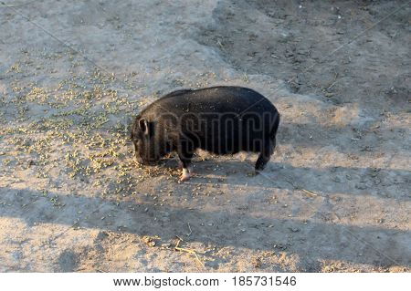 a little black pig eats something on the ground