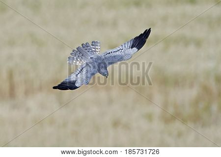 Montagus harrier in flight with vegetation in the background