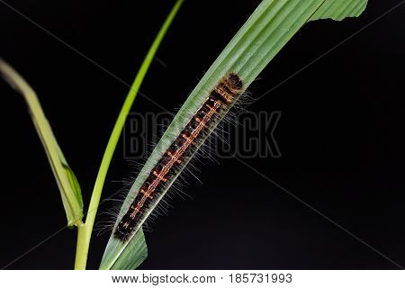 Common Duffer (discophora Sondaica) Caterpillar