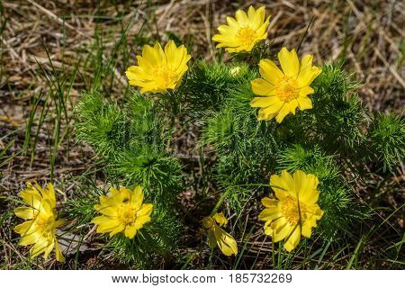 Beautiful spring floral background with bright yellow flowers Adonis in the grass closeup on a sunny day
