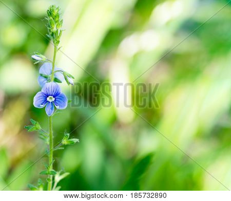 Little blue flower Persian Speedwell on blurred green natural background with space for text macro photo