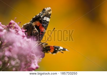 Vanessa atalanta red admiral colourful butterfly found in temperate Europe Asia and North America