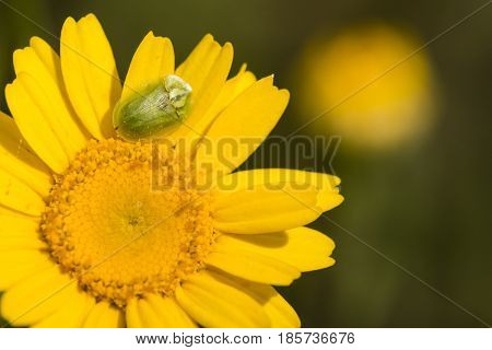 Green tortoise beetle insect Cassida viridis on yellow daisy.