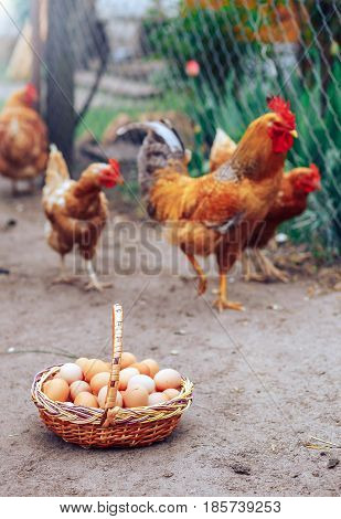 fresh and natural chicken eggs in a wicker basket. Farm