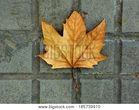 Dry maple leaf lying on the street floor. Maple leaf fallen. This sign means autumn is coming. Fall season