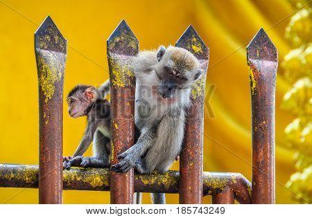 Monkey on the fence at the Batu Caves near Kuala Lumpur Malaysia
