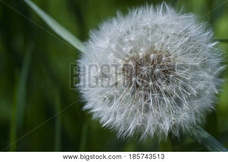 Downy ripe seed head of the dandelion closeup on a blurred background of grass