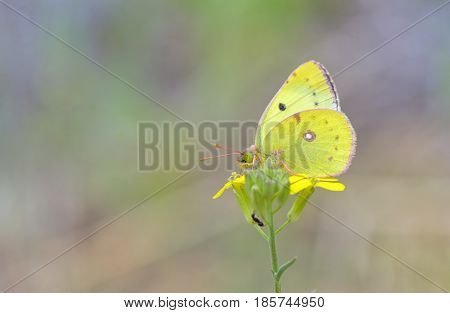 Cloudless Sulphur butterfly (Phoebis sennae) on flower