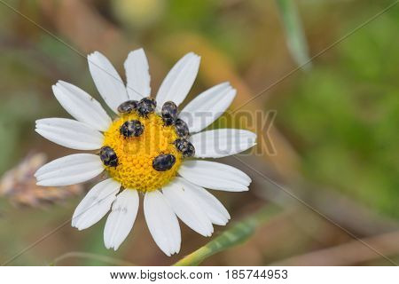 Details of chamomile flower and small bugs
