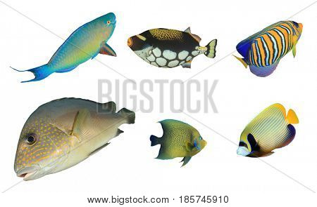 Underwater fish collection. Tropical coral reef fish. Fish isolated on white background. Cutouts parrotfish, triggerfish, angelfish, sweetlips