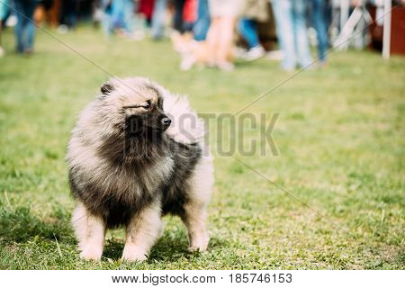 Funny Keeshond Dog Play Outdoor In Green Spring Meadow Grass. Playful Pet Outdoors.