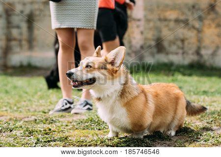 Pembroke Welsh Corgi Dog. Welsh Corgi Is A Small Type Of Herding Dog That Originated In Wales