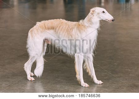White Dog Russian Borzoi Wolfhound On Floor Indoors
