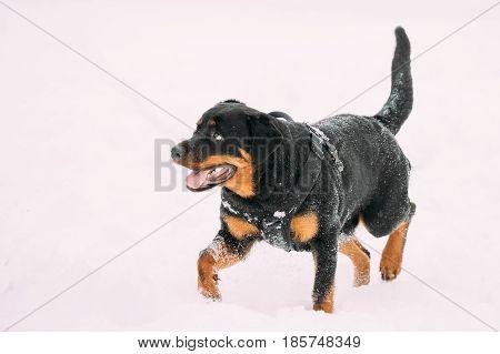 Funny Black Rottweiler Metzgerhund Dog Walking During Training. Winter Season.