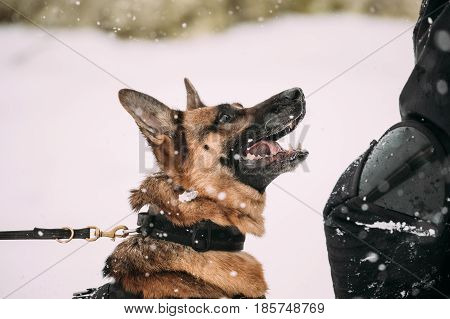 Training Of Purebred German Shepherd Young Dog Or Alsatian Wolf Dog. Attack And Defence. Winter Season. Close Up