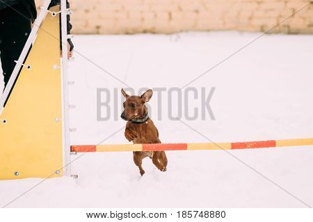 Funny Dog Red Brown Miniature Pinscher Pincher Min Pin Zwergpinscher Jumping Through Barrier In Snow During Agility Dog Training At Winter Season.