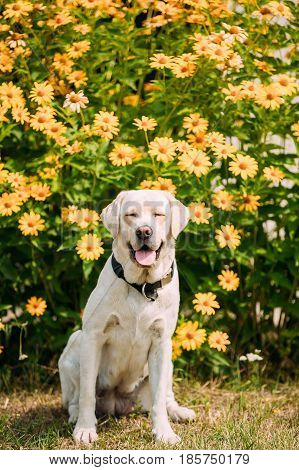 Smiling Yellow Golden Labrador Adult Female Dog With Closed Eyes In Sitting Pose On The Trimmed Lawn Of Garden. The Bright Yellow Flowers Background.