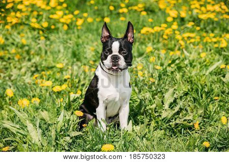 Funny Young Boston Bull Terrier Dog Outdoor In Green Spring Meadow With Yellow Flowers. Playful Pet Outdoors.