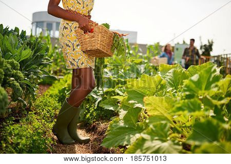 Leg details of black female gardener tending to organic crops at community garden and picking up a basket full of produce