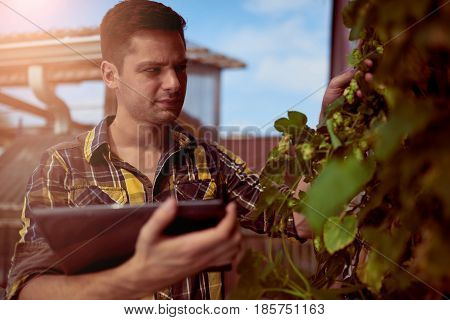 Portrait of a male farmer looking at a hop vine in an urban garden for a micro brewery.
