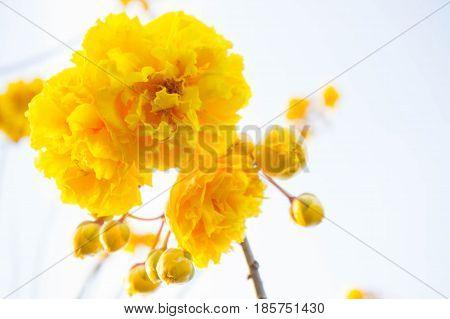Yellow cotton flowers Silk Cotton flowers Tree beautiful in sky