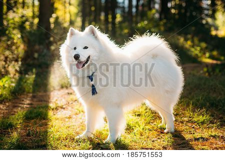 Happy White Samoyed Dog Outdoor in Forest, Park