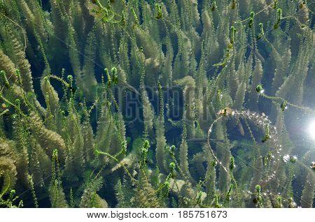 Green Freshwater Underwater Vegetation