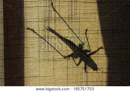 Shadow of a terrifying giant insect on window fabric blinds