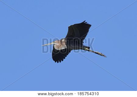 Purple heron in flight with blue skies in the background