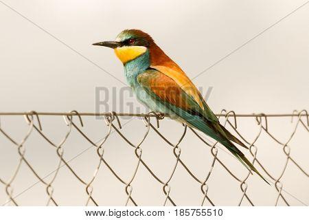 Beautiful bee-eater on a metallic fence