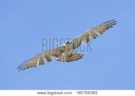 Short-toed snake eagle in flight with blue skies in the background
