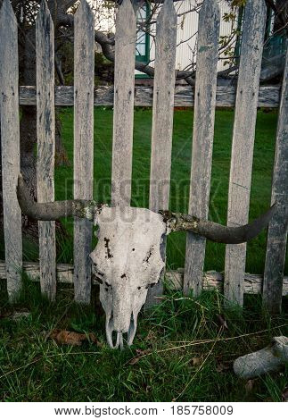 Cow skull with horns against a wooden fence