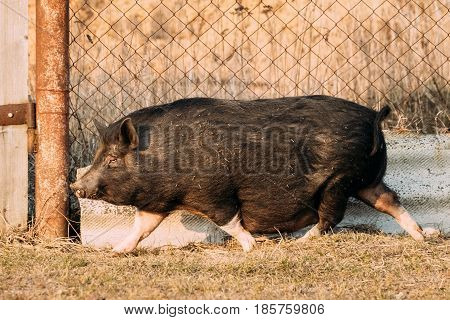 Household Black Pig Running In Farm Yard. Pig Farming Is Raising And Breeding Of Domestic Pigs. It Is A Branch Of Animal Husbandry. Pigs Are Raised Principally As Food