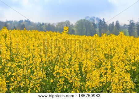 Canola Field With Canola Oilseed And Yellow Rape Flowers. Blue Cloudy Sky. Spring Time.