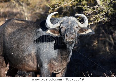 picture of an African buffalo on a safari in a private park in South Africa.