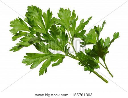 Parsley bunch isolated on white background. Parsley herb leaves