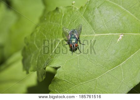 Common Flesh Fly - Sarcophaga Carnaria
