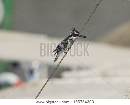 Pied Kingfisher Perched On A Rope