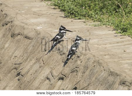 Two Pied Kingfishers Stood On A Stone Wall