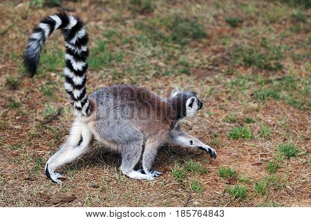 Lemur from ring tail walks in the forest clearing.